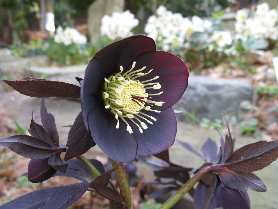 Black flowers -hellebore