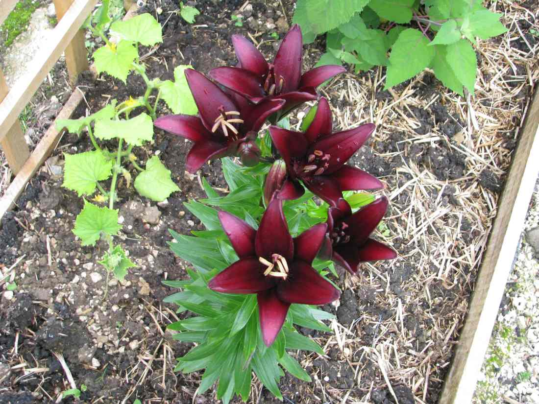 Black flowers: Lily Landini