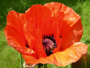 Seasonal gardening: Oriental Poppy