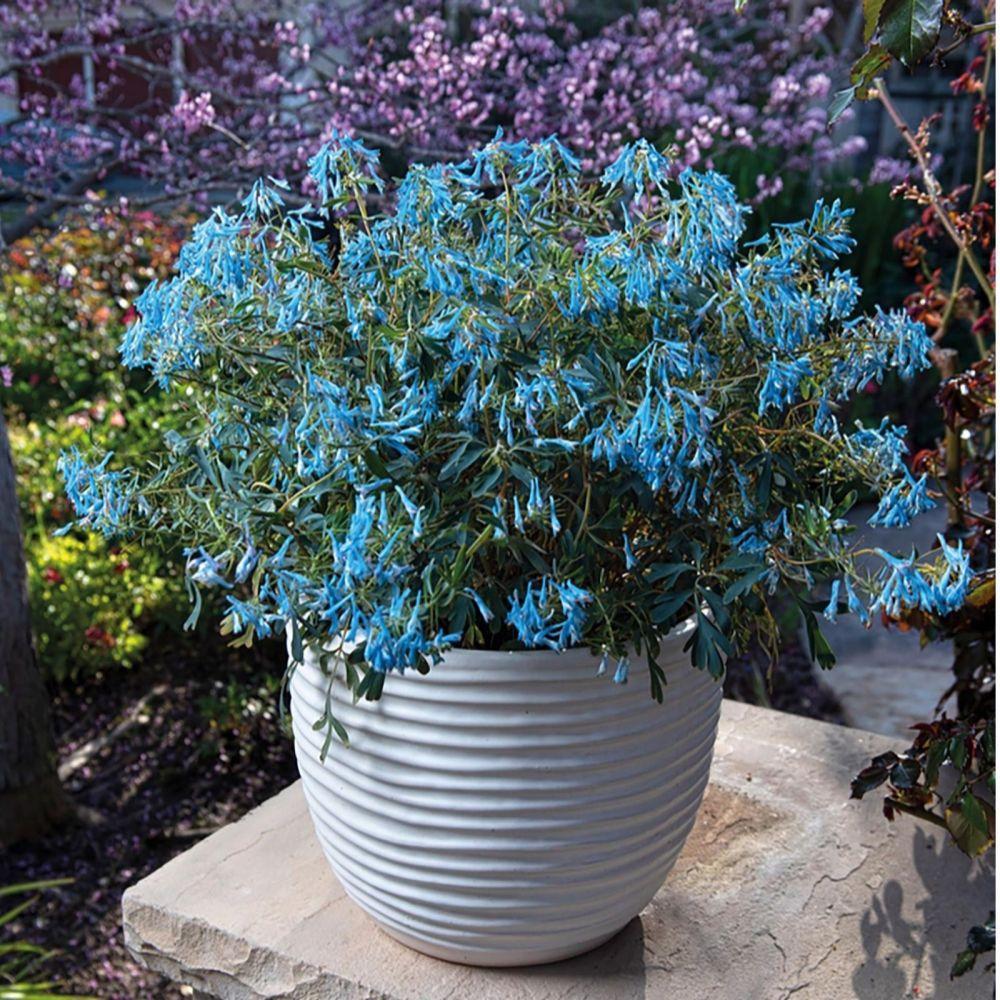 Thompson & Morgan Corydalis Porcelain Blue Plug Plants 3 & Grey Planter x 3