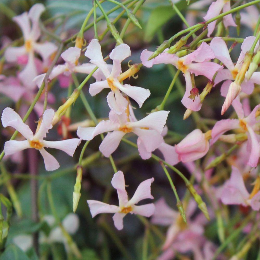Richard Jackson Fragrant Pink Evergreen Jasmine