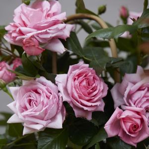 Hayloft Rose Renaissance
