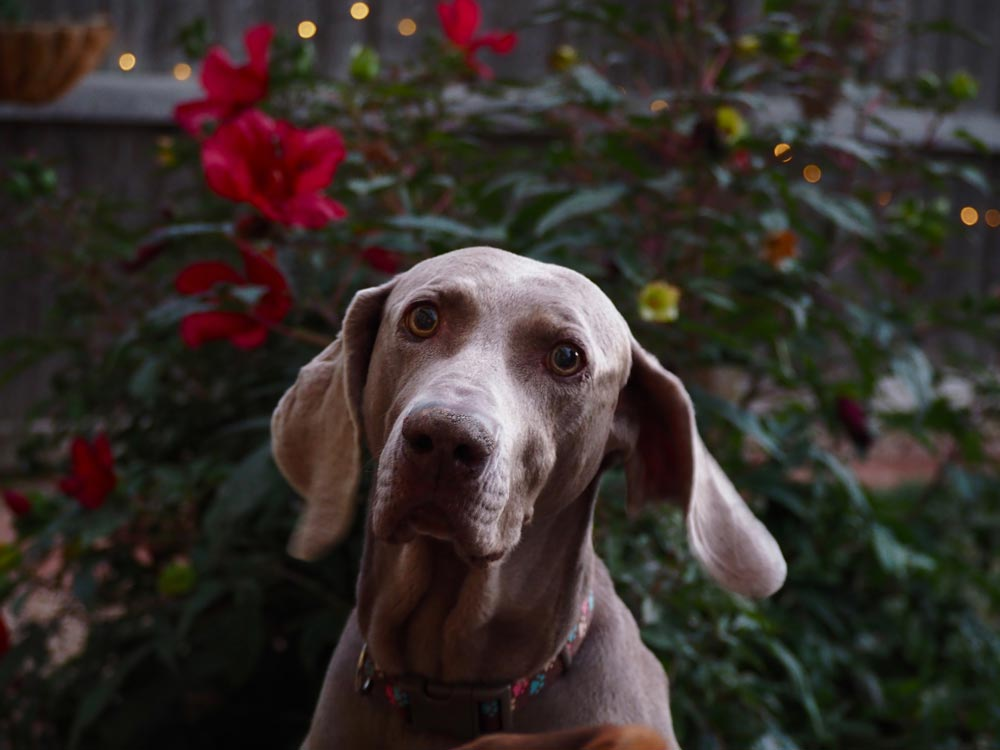 Grey dog in front of some flowers
