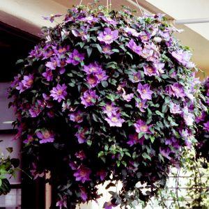 Clematis hanging basket