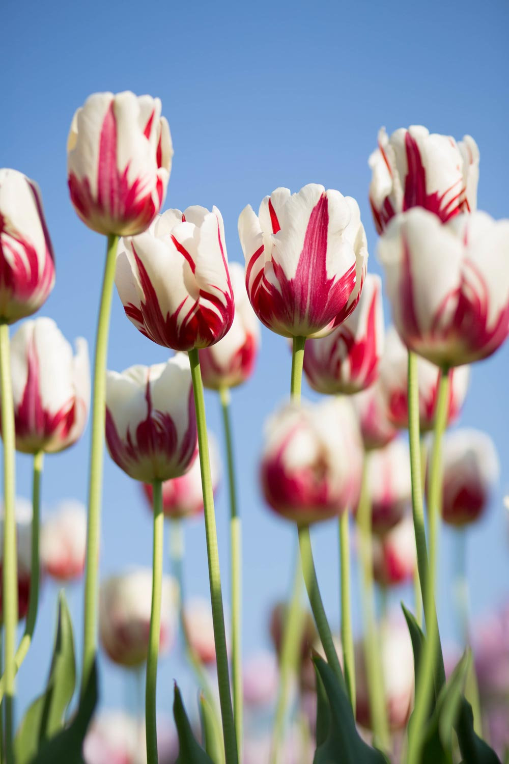 Red and white Tulips