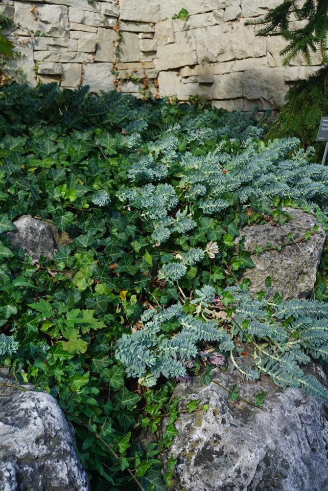 Euphorbia with Ivy