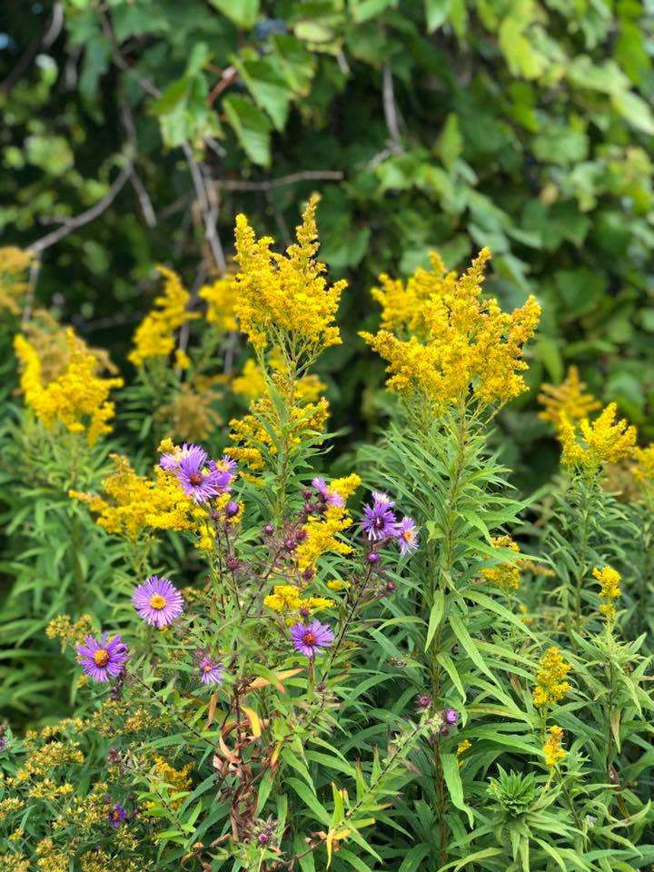 Aster with Solidago