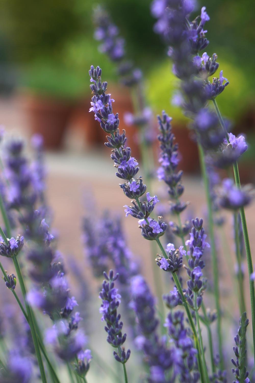 Lavender 'Phenomenal'
