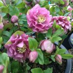 Helleborus Queen Series