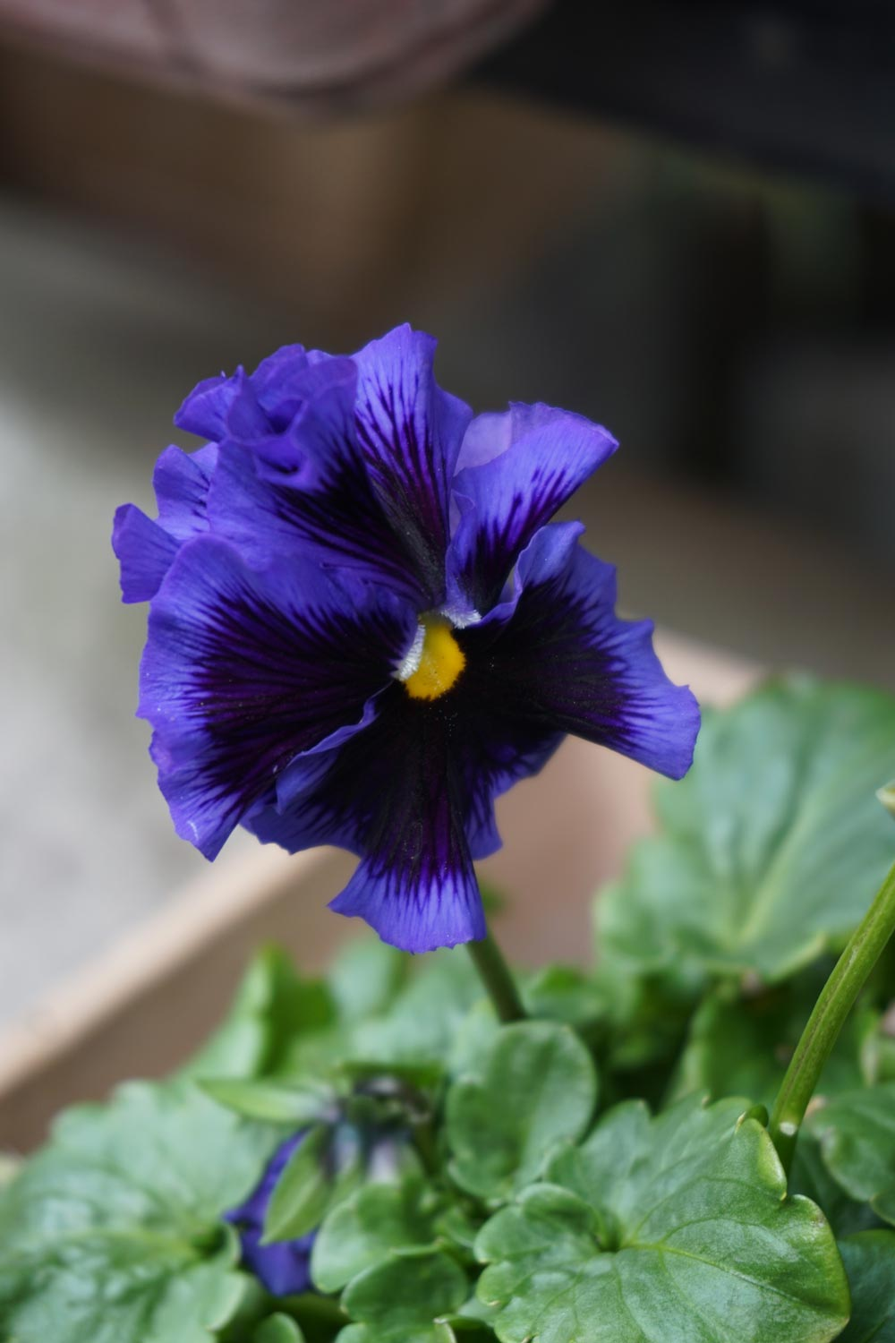 Blue Pansy Frizzle Sizzle