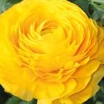 Ranunculus - Persian Buttercup - Geallo