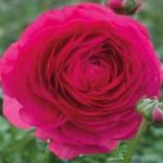Ranunculus - Persian Buttercup - Hot Pink