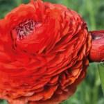 Ranunculus - Persian Buttercup - Rosso