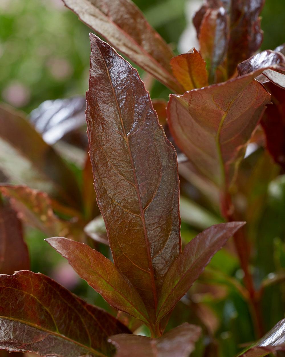Viburnum Coppertop close up