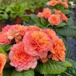 Primula Belarina New Apricot