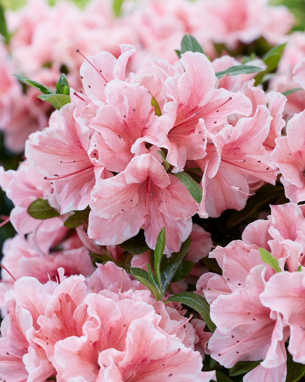 Azalea Encore - Pink