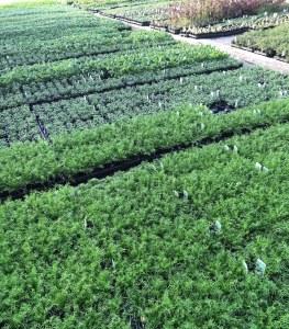 Rosybee Plants