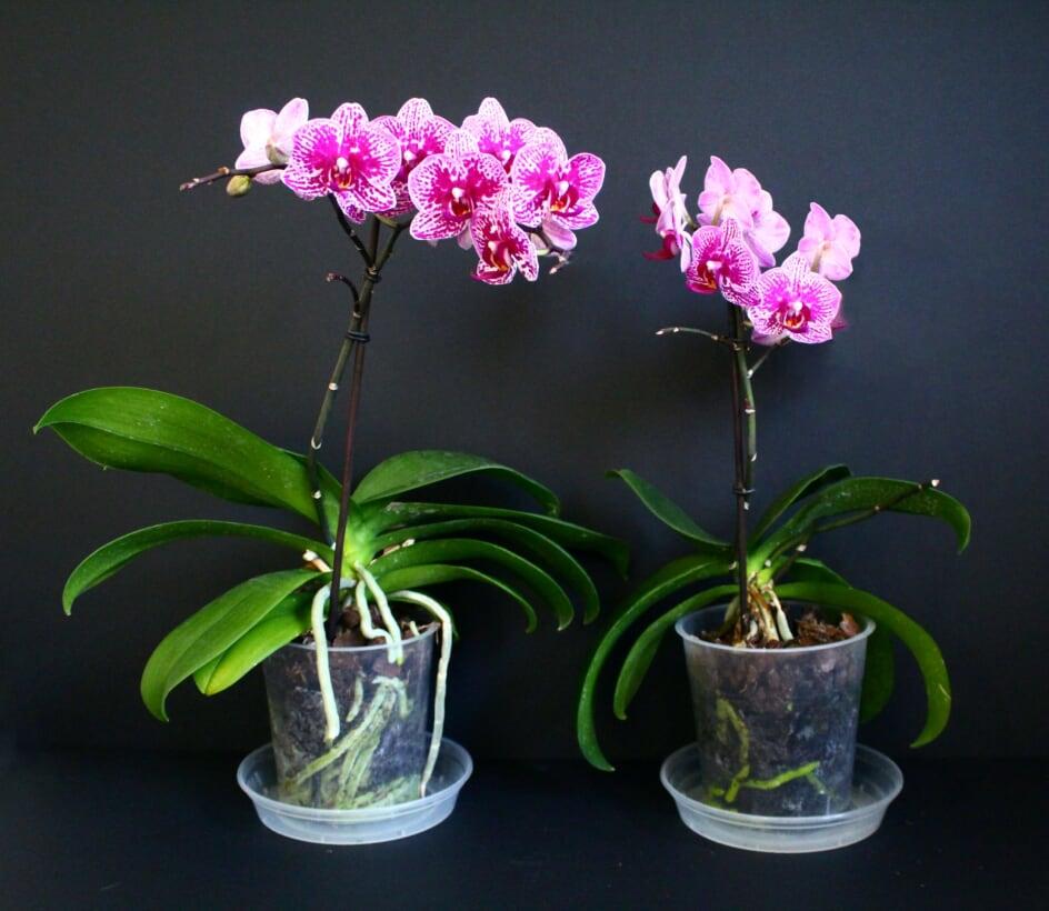 Orchids - Plantsurge