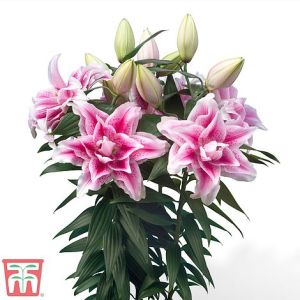 Lily Roselily Sara