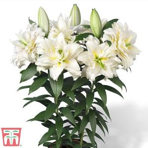 Lily Roselily Sita