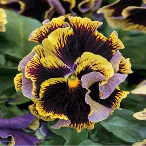 Ruffled Pansy Collection