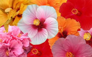 Hibiscus Sunny Cities - by Agriom