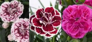 Dianthus DiaDeur Selecta