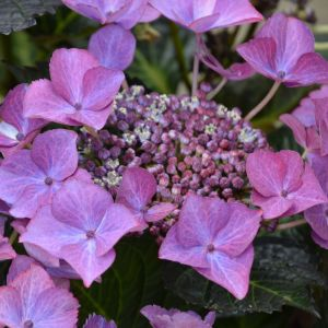 Hydrangea Dark Angel Blue