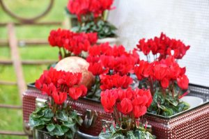 Cyclamen Smartiz Red - Morel