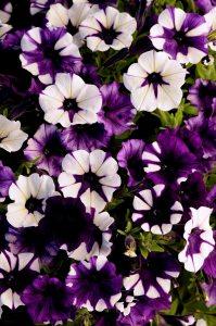 Petunia Purple Tie Dye - Pan American