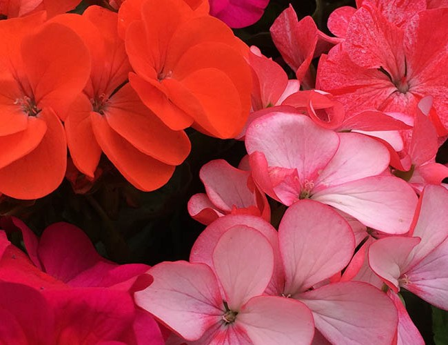 Geraniums Pelargoniums - feature image