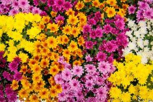 Chrysanthemum Milkshake Mums - Royal Van Zanten