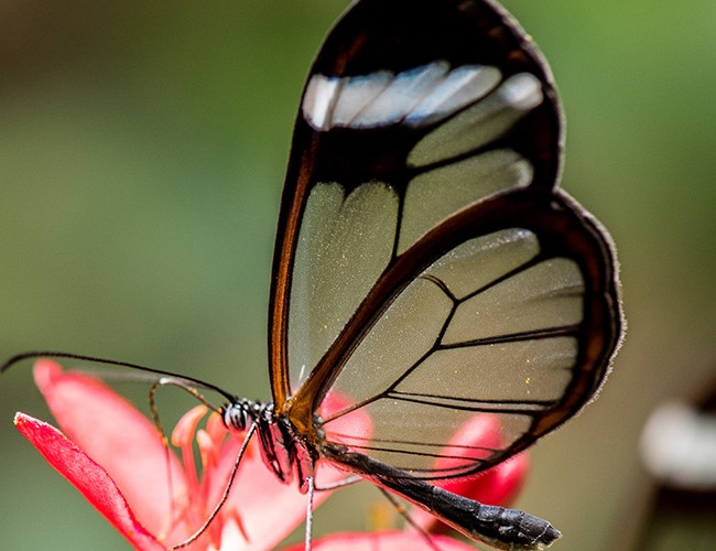 Weirdest Butterflies in the World - feature image