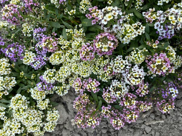 Alyssum Aphrodite Mixed.