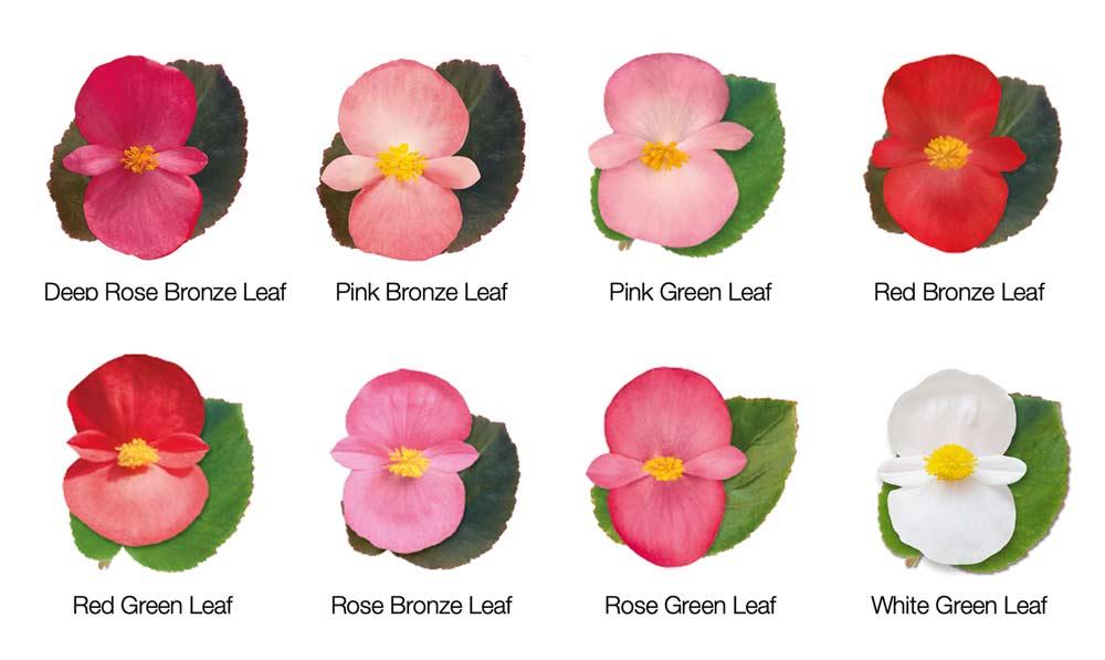 Begonia BIG colours
