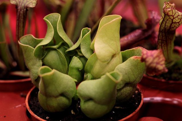 Carniverous plant