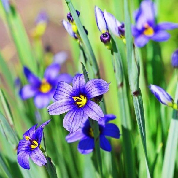 Idaho Blue-Eyed Grass Seeds - Moody Blues