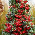 Pyracantha Red Star - feature image
