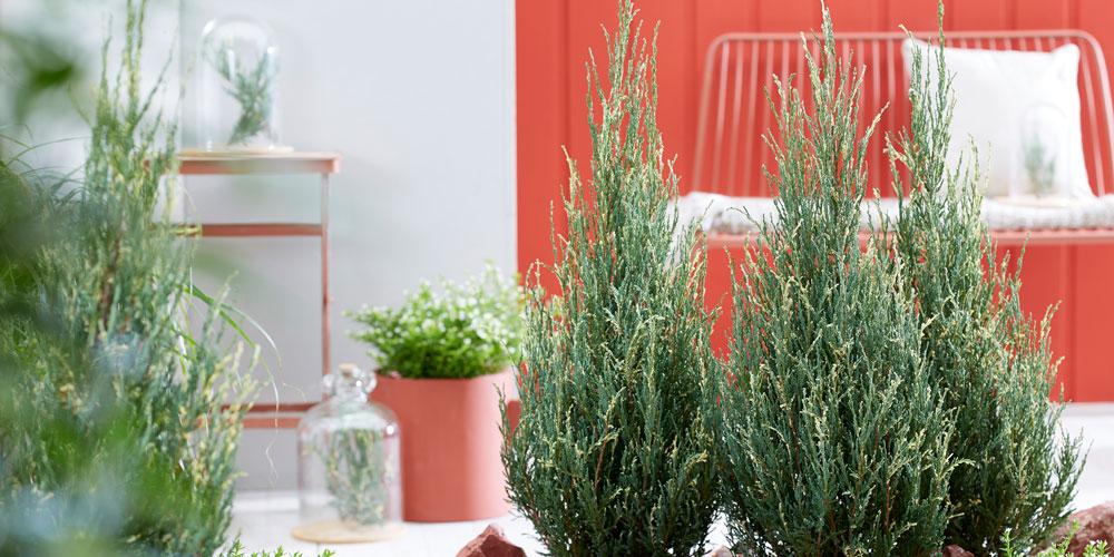 Juniperus Blue Ivory feature image