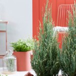 Juniperus Blue Ivory feature image