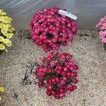 Argyranthemum Lollies Berry Gummy