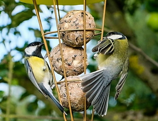 Bird food - fat balls feature image