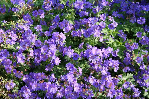 Geranium Sabani Blue