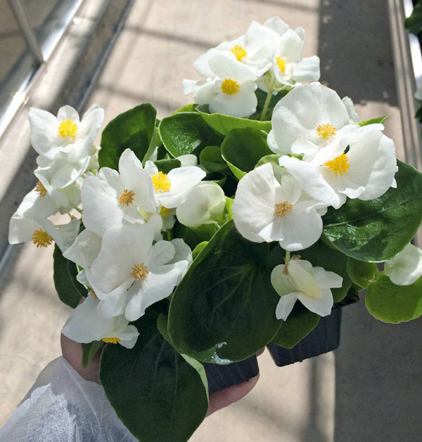 Begonia 'Super Cool'