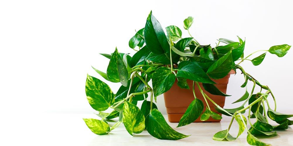 Pothos - Devil's Ivy - feature image