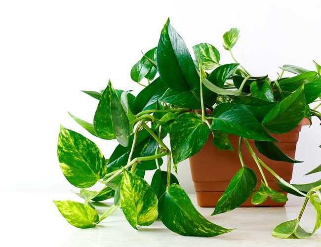 Pothos - Devil's Ivy - feature image