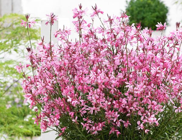 Gaura-Baby-Butterfly-Dark-Pink_Flower