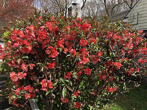 Flowering quince
