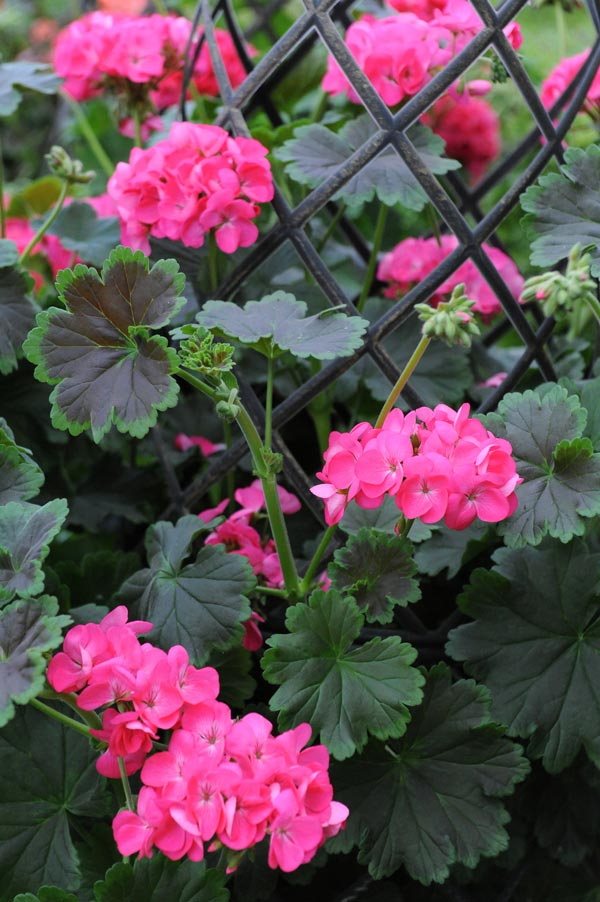 Geranium Tall Dark & Handsome