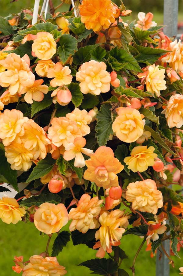 Begonia Illumination Apricot shades